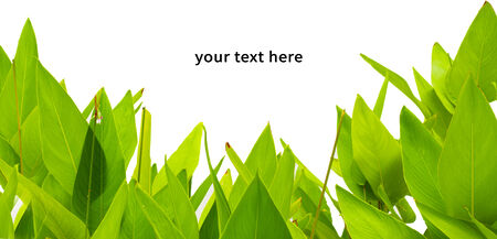 newest: green leaves on white background