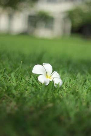 thom: Lan Thom beautiful flowers on the grass