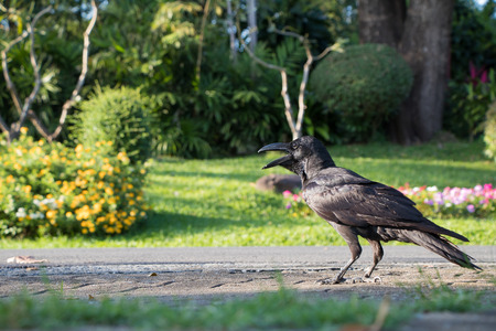 Black Crow standing on the ground in the park at dusit zoo, thailand