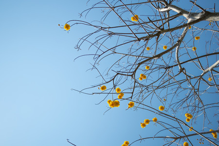 Yellow silk cotton tree flower on blue sky in daytime, (Cochlospermum regium) Stock Photo