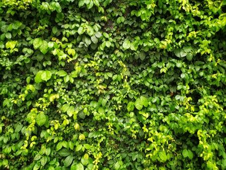 Enredadera verde o hojas verdes en el fondo de textura de pared Foto de archivo