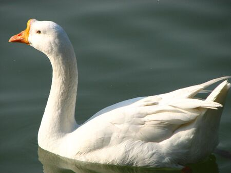 White Swan Stock Photo - 3470259