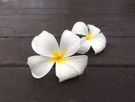 couple white frangipani flower drop on the wooden terrace 版權商用圖片