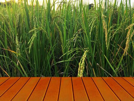 Golden paddy in green rice field behind brown wooden terrace. Real nature of countryside with sunset in the evening.