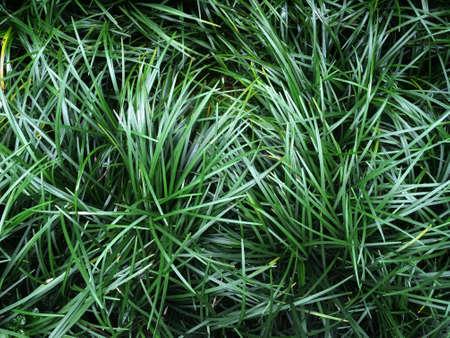 Ophiopogon japonicus (Mini-Mondo-Gras oder Schlangenbart) dunkelgrüne Grasblätter durch Bodendeckerpflanzenhintergrund Standard-Bild