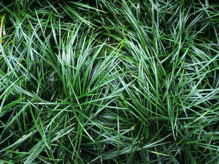 Ophiopogon japonicus (mini mondo grass or snakes beard) dark green leaves of grass by ground cover plant background