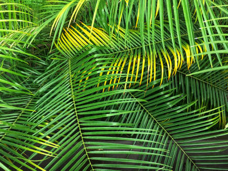 royal palms frond leaves background. Tropical leaves pattern. Jungle plants. Top view of tree 스톡 콘텐츠