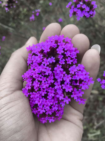 small violet verbena flower was holding to be cluster by woman hand