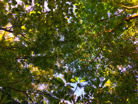 Sunlight through leaves on the top tree. Sunshine reflect on green and yellow leaf. Stock Photo