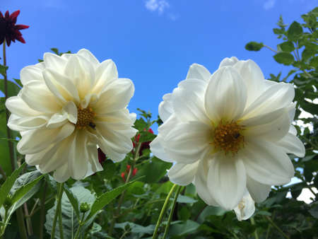 White flower is blooming in the garden with blue sky in summer Imagens