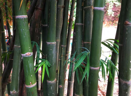 Green Bamboo trunk in the forest