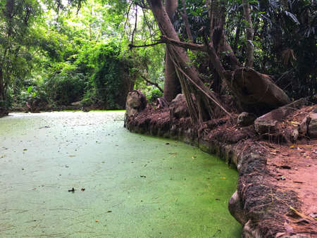 Duck weed, mosquito fern covering on the river in jungle. Imagens