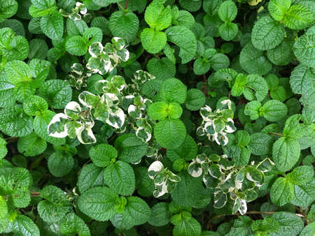 Fresh apple mint leaves and ground-cover background