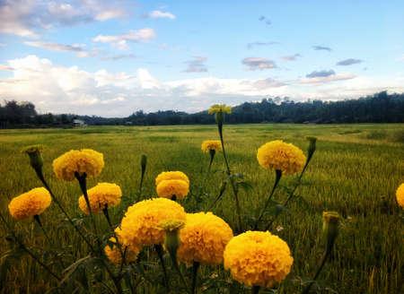 Beautiful yellow marigold flower bloom in meadow under blue sky.