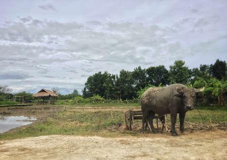 Thai buffalo dirty mud was stand outdoor on ridge at arid field Imagens