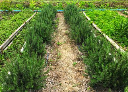 Fresh rosemary herb farming on soil in the garden Imagens