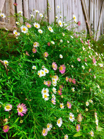 colorful Mexican fleabane flower, cutter floweraster ericoides flower blooming on bush in the garden