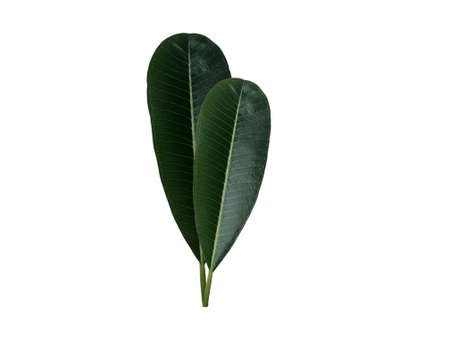 Green frangipani or plumeria leaf set isolated on white background.