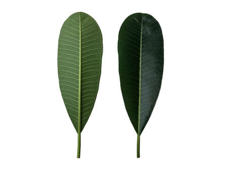 Green frangipani or plumeria leaf set of front and back isolated on white background. Imagens