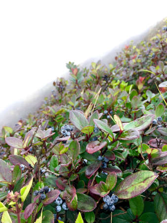 Fresh blueberry on the hill with thick mist in winter season.