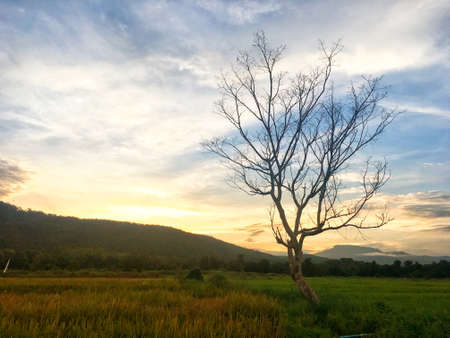 Leafless tree in the half rice field and paddy field with mountain on sunset. Color shade of nature Banque d'images