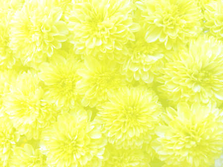 Fresh yellow marigold flower front view with ivory light cover background.