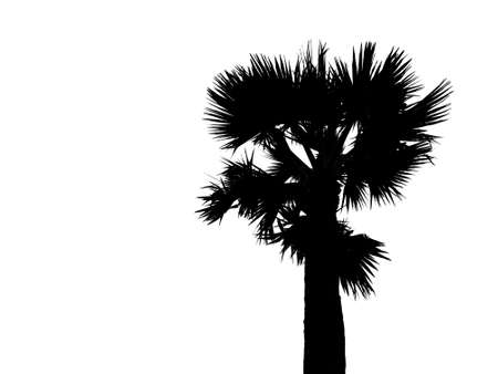 Silhouette of top half single sugar palm tree isolated on white background. Image adjust to contrast black and white like drawing Stok Fotoğraf
