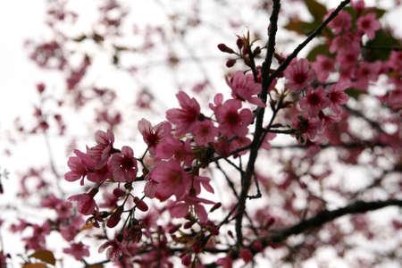 Beautiful cherry blossom Prunus cerasoides in Thailand, bright pink flowers of Sakura on spring background Imagens