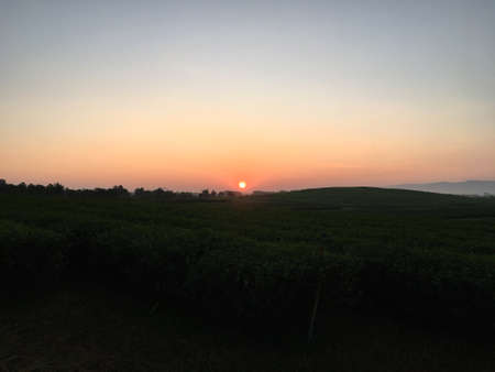 Sunrise behind mountain in the morning with dark tea tree garden in the field. Imagens