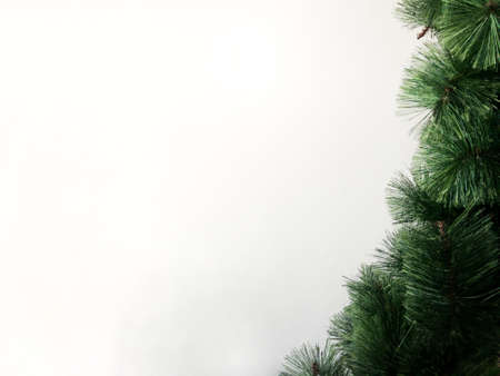 Green pine leaves for Christmas tree isolated on white background with copy space.