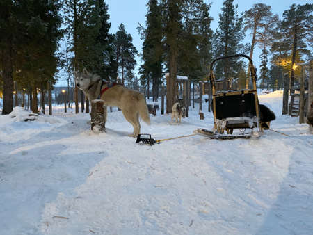 Smart brown Siberian husky dog standing with sleigh on snow in winter forest.