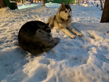 Smart couple Siberian husky dog sitting on snow in winter forest.