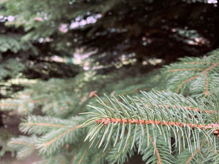 Green pine leaves branches close up in winter season. Christmas fir tree wallpaper.