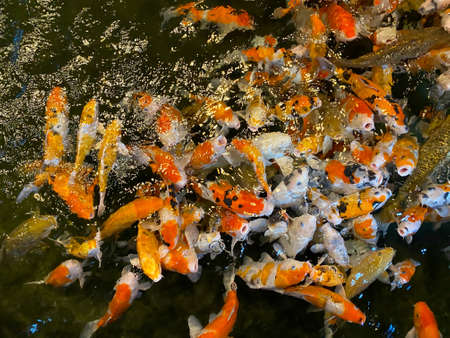 Colorful Koi fish floating in the pond