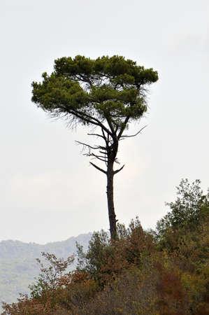 lone pine: Lone Pine en la monta�a