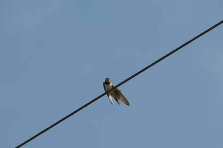 collecting for migrating swallows Stock Photo - 15733496