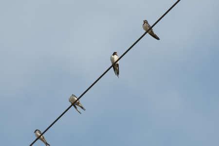 collecting for migrating swallows Stock Photo - 15733518