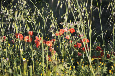 poppies in the field with weeds Stock Photo