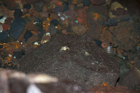 white crabs of Lanzarote where you will find this rare species only in Lanzarote photo