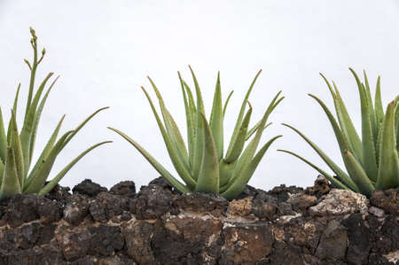 aloe vera plantation where collected for products Stock Photo
