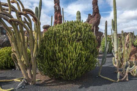 cactus species: Jard�n de Cactus de Lanzarote usted puede visitar para ver m�s de 500 especies de cactus