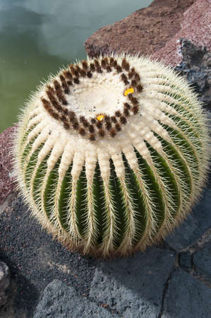 cactus species: Cactus Jard�n de Cactus de Lanzarote, donde hay m�s de 500 especies diferentes