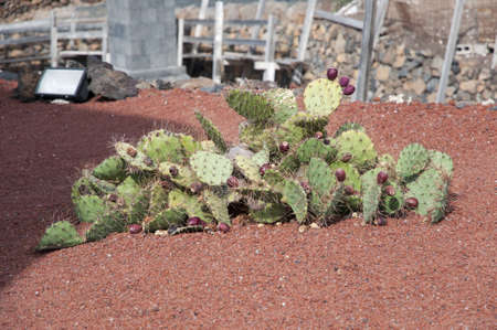 cactus species: Cactus Cactus Garden Lanzarote where there are over 500 different species