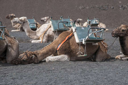 contracted: camels used for walking tours people contracted