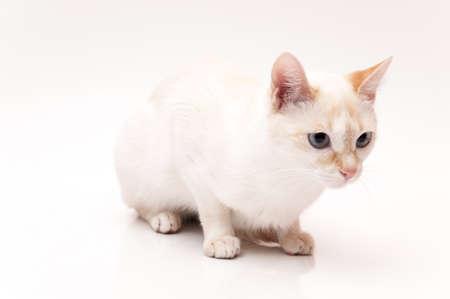 white cat with blue eyes on white background Stock Photo - 17325245