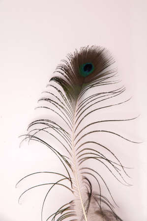 peacock feather on a white background Stock Photo - 17836385
