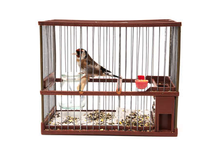 goldfinch in a cage and staring at me sitting on a white background photo