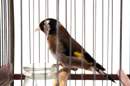 goldfinch in a cage and staring at me sitting on a white background Stock Photo - 17836290