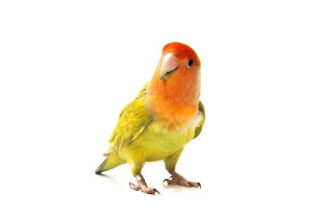 lovebird color on a white background photo