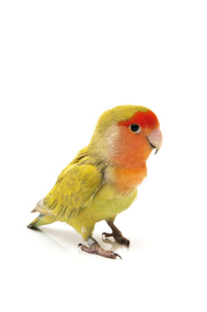 inseparable: Lovebird colors on a white background Stock Photo